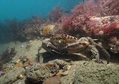 Velvet swimming crab - Necora puber (MatYts) Tags: life sea water animal swimming back salt crab scuba velvet scatter solo scubadiving crustacean swanage necora puber ukdiving ikelite swanagepier canong15
