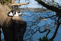 The Restronguet cat (chrisotruro holiday) Tags: tree creek cat spring cornwall shore april