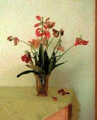Abgeblhter Tulpenstrau (1) (Chironius) Tags: flower rot fleur blossom flor  fiore blte tulipa tulpen blten liliaceae  liliales  liliengewchse lilienartige lilioideae