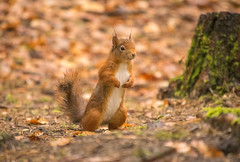 DSC_0661-1 (Romeoliverpool) Tags: red animals forest squirrels formby