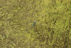 My First Kingfisher !!! (aaron19882010) Tags: blue trees orange fish green bird nature water animals canon outside outdoors beck wildlife explore belly kingfisher eater 750d
