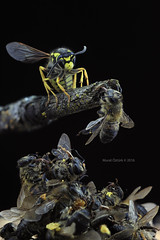 nsect Wars (Murat ztrk...) Tags: macro insect war wasp help