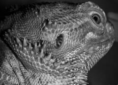 """Pablo the Grey"" [Pogona vitticeps] (theGR0WLER) Tags: blackandwhite pet macro eye monochrome canon grey blackwhite dragon australian lizard scales ear spike monday hmm bearded mondays pogona vitticeps superzoom macromondays canonpowershotsx50hs beginswiththeletterp"