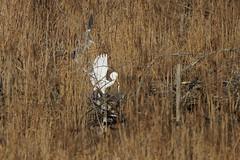 Graureiher der Dieb - Grey Heron the Thief (Huygens! aka GSatiFan) Tags: heron grey grande alba great ardea egret hron ardeidae reiher ciconiiformes fischreiher cinerea graureiher egretta aigrette cendr silberreiher