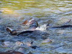 P1092431 (tatsuya.fukata) Tags: elephant thailand crocodile samutprakan crocodilefarm