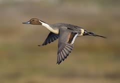Sprig Takeoff (Hockey.Lover) Tags: northernpintail birds 2016 mlkshoreline martinlutherkingjrregionalshoreline