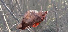 - spiked - (Jac Hardyy) Tags: leaves spiky leaf bush branch branches thorn blatt bltter spitz spiked zweige dornen dorn dornbusch zweig thornbush aufgespiest