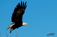 TIME TO SOAR (Aspenbreeze) Tags: sky bird nature birds rural outdoors wings eagle wildlife baldeagle eagleinflight talons beaks wildbird eaglesoaring aspenbreeze moonandbackphotography bevzuerlein