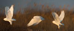 Flight of the snowy (Khurram Khan...) Tags: winter wild ilovenature wildlife raptors snowyowl migratingbirds ilovewildlife iamnikon canonwildlifephotography khurramk khurramkhan