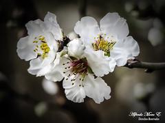 Primeras flores de almendro (Esmerejon) Tags: naturaleza flores plantas flor helada almendro cambioclimático prunusdulcia