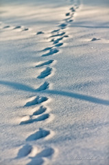 Spuren im Schnee (brady tuckett) Tags: sunset sun snow color nature colors landscape natural snowy footprints m42 f2 brady manualfocus tuckett 135mm soligor manuallens legacylens m42mount m42lenses soligor135mmf2 bradytuckett