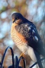 Birdwatch!! (Wendy Parker) Tags: bird canon outdoor hunter prey predator sparrowhawk
