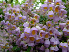 Jovellana punctata (yewchan) Tags: flowers flower nature colors beautiful beauty closeup garden flora colours gardening vibrant blossoms blooms lovely jovellana jovellanapunctata teacupflower