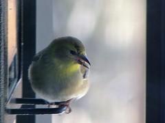 Chardonneret (ChapOLisa) Tags: bird goldfinch oiseau chardonneret