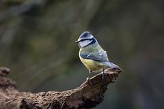 Blue tit (Linton Snapper) Tags: bird canon bluetit gardenbirds lintonsnapper