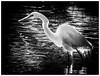 Egret Dream (karith) Tags: blackandwhite bw bird egret colony waterbirds greatwhiteegret karith bayfarmisland niksilverefexpro