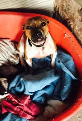 Cassy (MerlinAnimalRescue) Tags: rescue dog animal wales north bull merlin staffie staffordshire sbt terrrier