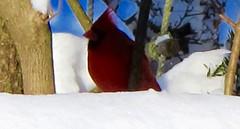 Cardinal (AndrewDallos) Tags: new york winter snow storm bird weather cardinal snowstorm blizzard