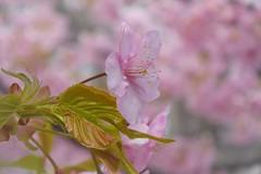 Commingled Pink!! (ragams) Tags: pink winter flower nature japan cherry early blossom petal single yokohama nikon1j4 kawazakura
