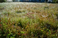 early autumn in Akita_2015 (bestpg12to32) Tags: morning autumn summer green field grass town akita morningdew