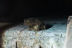 Croak (Rico the noob) Tags: travel urban macro nature animal animals dof bokeh frog myanmar