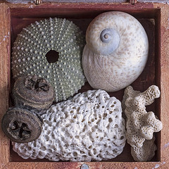 View of a small cabinet of wonder. (typographics2010) Tags: wood stilllife plant animal coral dead poetry natural starfish snail clam seeds collection shellfish lime remembrance urchin biology fossils seaurchin wunderkammer woodenbox cabinetofwonder