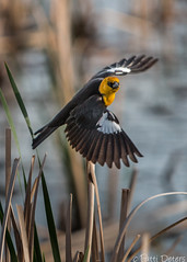 """Yellow-headed Blackbird Wings"" by Patti Deters (Patti Deters) Tags: male bird art animal yellow horizontal canon reeds photography one design flying office wings pond weeds wildlife flight lobby single marsh birdwatching interiordesign wingspan blackbird headed wetland songbird yellowheaded yellowheadedblackbird cafeart pattideters"