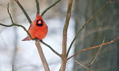 Staying Warm (danbruell) Tags: winter bird cardinal