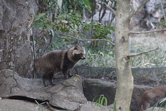 Japanese Raccoon Dog (Tanuki) at Yokohama Zoorasia 2016-01-24 (kuromimi64) Tags: japan zoo tanuki yokohama kanagawa    raccoondog  zoorasia     yokohamazoologicalgardens japaneseraccoondog