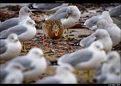 Surrounded ! (episa) Tags: ca camera toronto ontario canada birds duck lakeshore lakeontario surrounded nikond810 nikonafs200500mmf56eedvr