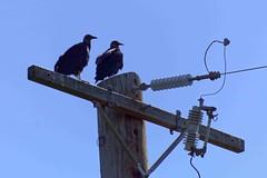 Młode sępy | Young vultures