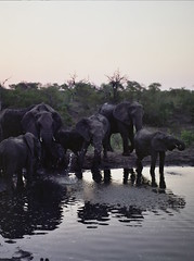 Elephants playing in the water 2 (chillbay) Tags: africa camp southafrica safari elephants waterhole krugernationalpark kruger tandatula krugerafrica