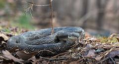 Rat Snake (cre8foru2009) Tags: nature animal georgia reptile snake ratsnake blackratsnake herping pantherophisalleghaniensis