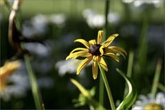 Black-Eyed Susan (joeldinda) Tags: flower garden raw susan blackeyedsusan d300 joeldinda