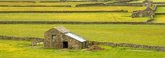 Swaledale barns (john neal photography) Tags: stone landscape barns walls buttercups yorkshiredalesnationalpark