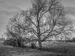 Uiterwaarden bij Asselt   --HDR-- (Frank Berbers) Tags: trees blackandwhite monochrome landscape bomen noiretblanc zwartwit landschaft bäume hdr highdynamicrange landschap uiterwaarden floodplains schwarzweis limburgslandschap middenlimburg asselt überschwemmungsgebiet nikoncoolpixp610 stroomgebiedvandemaas riverbeckenvondermaas riverbasinofthemeuze