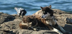 Me And My Raven (Derbyshire Harrier) Tags: autumn arctic greenland inuit raven settlement huskie 2016 sledgedog ittoqqortoormiit scoresbysund greenlanddog easternmoors oceanwideexpeditions mvplancius