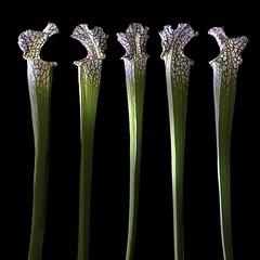 Carnivorous Pitcher Plants (Explore) (Pixel Fusion) Tags: plant flower macro nature flora nikon pitcher carnivorous d7000