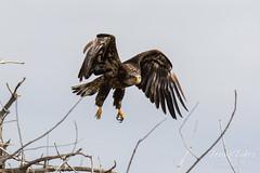 Juvenile Bald Eagle struggles to land - 6 of 27
