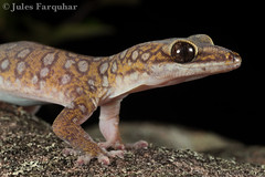 Southern Spotted Velvet Gecko (Oedura tryoni) (Jules Farquhar.) Tags: fauna nocturnal reptile wildlife lizard queensland gecko macrophotography herpetofauna oeduratryoni southernspottedvelvetgecko diplodactylidae julesfarquhar australianherpetofauna