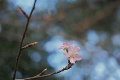 P2103875 (deception.tw) Tags: leica flower hsinchu taiwan olympus panasonic   45mm omd  em5  hsinchucity leicadgmacroelmarit12845