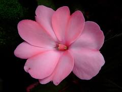 SunPatiens 'blush pink' (yewchan) Tags: flowers flower nature colors beautiful beauty closeup garden flora colours gardening vibrant blossoms blooms lovely impatiens sunpatiens