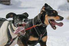 Int. Schlittenhunderennen Gadmen 2016 (www.il-photography.ch) Tags: schnee dog husky berge hund tier sledge schlittenhund 2016 sledgedog malamut gadmen schlittenhunderennen samojede