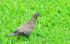 Birds 27 (orientalizing) Tags: desktop peru southamerica birds animals lima featured westperuviandove