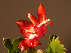 zoning red (SheilaMink) Tags: christmas red cactus brown sunlight white newmexico southwest green shiny shadows shapes nopostprocessing inourhouse sooc february2007