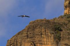 Bearded Vulture in flight - Catalan Pyrenees - Spain_S4E8027 (fveronesi1) Tags: birds spain europe catalonia beardedvulture 29hawkseagleskites