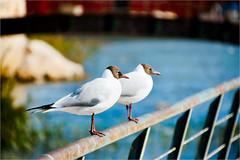 seagulls........... (atsjebosma) Tags: seagulls fence march spain harbour vogels hek maart 2016 hff peniscola zeemeeuwen atsjebosma