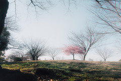 Sakura(Cherry blossom) - https://500px.com/photo/143550135/ (KT.pics) Tags: park travel pink flowers trees plants flower color green nature beautiful japan season cherry landscape japanese tokyo spring shiny alone bright blossom pastel jp  sakura hazy isolated muted elegance 2016 saigoyama   500px ktpics 500pxtours