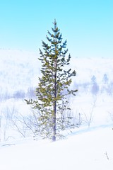 Pine in the Snow (TommyG95) Tags: snow tree ice pine finland institute research subarctic kevo jesnalvari