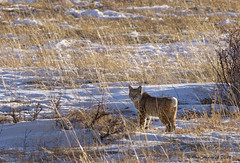 Rocky Mountain Bobcat (Happy Photographer) Tags: park mountain cat wildlife rocky national bobcat amyhudechek